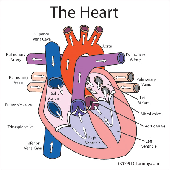 Heart Parts! - Mr.Kubiak's Blast-tastic Science Blog!